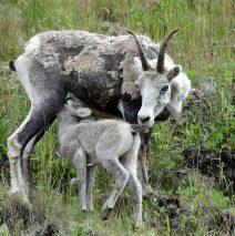 Stone Sheep – Ewe and Lamb | Stone Mt., B.C. | June, 2016