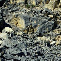 Dall Sheep – Ewes and Lamb | Eagle Plains, Yukon | June, 2016