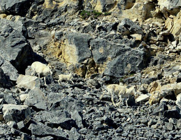 Dall Sheep – Ewes and Lamb   Eagle Plains, Yukon   June, 2016