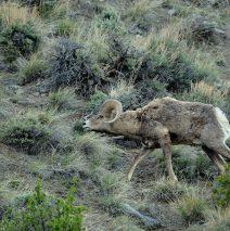 Bighorn Sheep – Ram | Cody, Wyoming | May, 2016