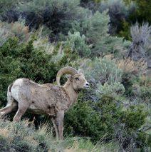Bighorn Sheep – Ram| Cody, Wyoming | May, 2016