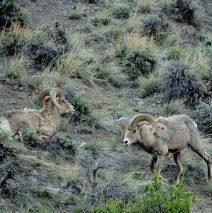 Bighorn Sheep – Rams | Cody, Wyoming | May, 2016