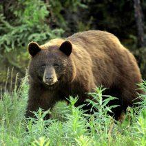 Black Bear | Dawson City, Yukon | June, 2016