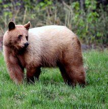 Black Bear| Haines Jct., Yukon | May, 2016