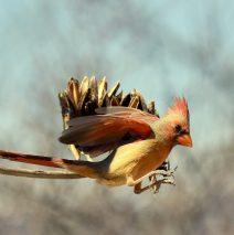 Northern Cardinal – Female | Portal, Arizona | March, 2017