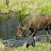 Moose – Bull | Grand Lake, Colorado | June, 2017