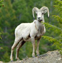 Bighorn Sheep – Ram | Georgetown, Colorado | June, 2017