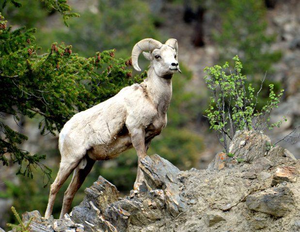 Bighorn Sheep – Ram   Georgetown, Colorado   June, 2017
