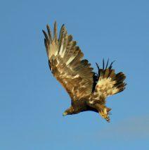 Golden Eagle – Juvenile | Walden, Colorado | June, 2017