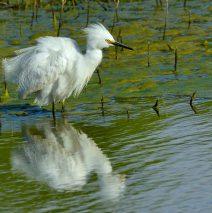 Snowy Egret | Bosque del Apache | May, 2017