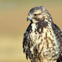 Swainson's Hawk – Juvenile | Walden, Colorado | August, 2017