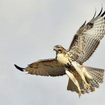 Red-tailed Hawk – Juvenile | Estancia, N.M. | Sept., 2017