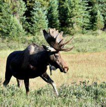 Moose – Bull | Walden, Colorado | August, 2016