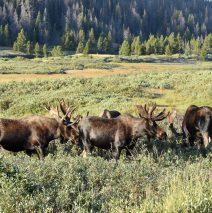 Moose – Bulls | Walden, Colorado |August, 2016
