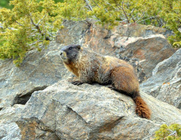 Marmot – Yellow-bellied | Georgetown, Colorado | June, 2017