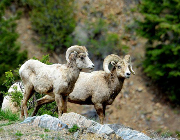Bighorn Sheep – Rams | Grorgetown, Colorado | June, 2017