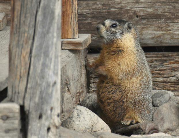 Marmot – Yellow-bellied   Walden, Colorado   May, 2018