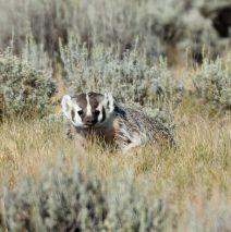 American Badger | Walden, Colorado | August, 2018
