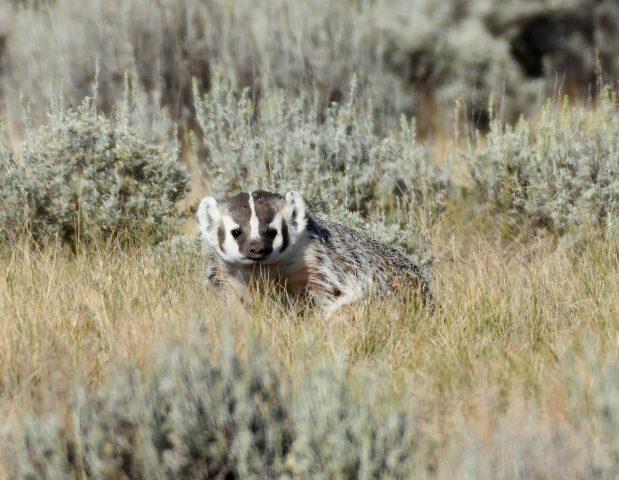 American Badger   Walden, Colorado   August, 2018