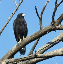 Common Black- Hawk | Lordsburg, N.M. | August, 2018