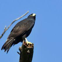Common Black-Hawk | Lordsburg N.M. | August, 2018