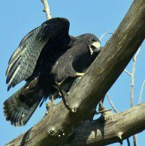 Common Black-Hawk | Lordsburg, N.M. | August, 2018