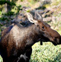 Moose – Cow | Walden, Colorado | August, 2018