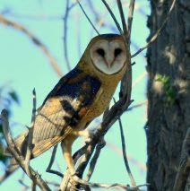 Barn Owl | Estancia, New Mexico | July, 2018