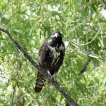 Common Black- Hawk – Juv. | Bosque del Apache | June, 2018