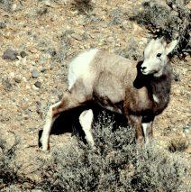 Bighorn Sheep – Juvenile | Pilar, New Mexico | Dec., 2018