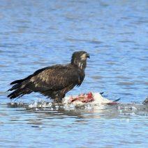Bald Eagle – Juvenile | Bosque del Apache | Jan., 2019