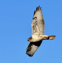 Ferruginous Hawk – Juvenile | Estancia, New Mexico | Jan., 2019