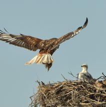 Ferruginous Hawk Nest Site | Estancia, New Mexico | June, 2019