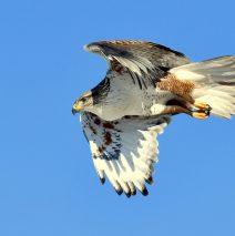 Ferruginous Hawk | Estancia, New Mexico | Feb. 2020