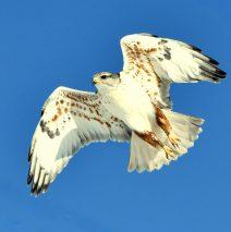 Ferruginous Hawk | Estancia , New Mexico | Feb. 2020