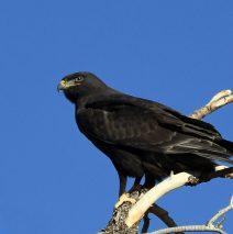 Ferruginous Hawk-Dark Morph | Estancia, N.M. | Jan. 2021