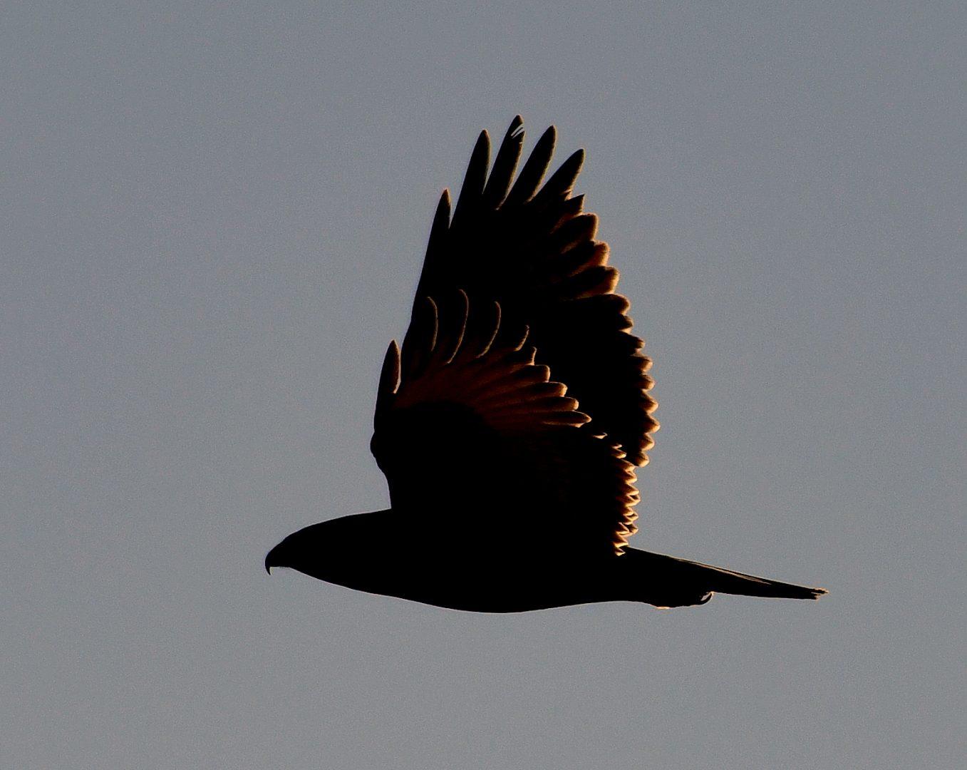 Ferruginous Hawk | Estancia, N.M. | Feb. 2021