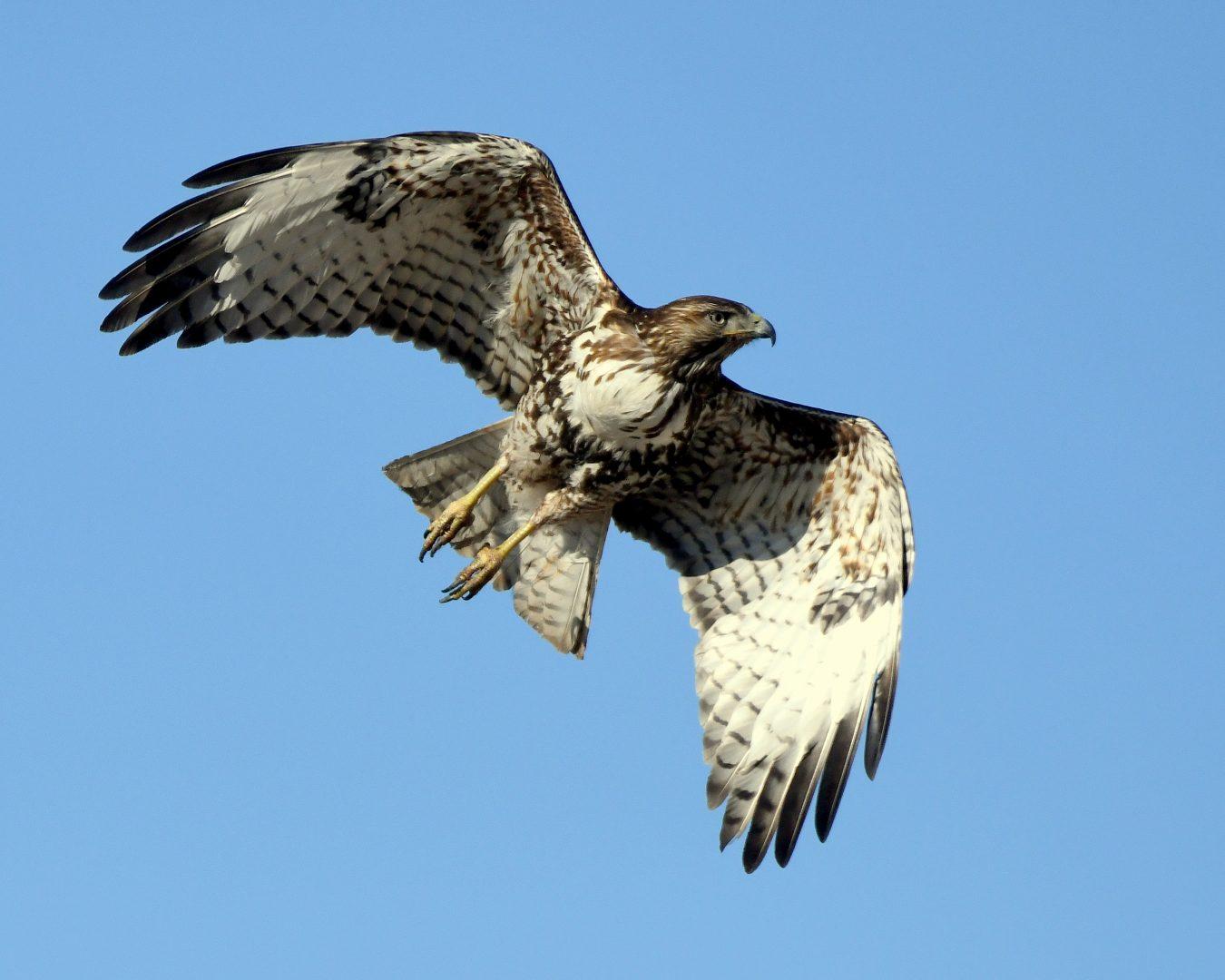 Red-tailed Hawk | Estancia, N.M. | March, 2021